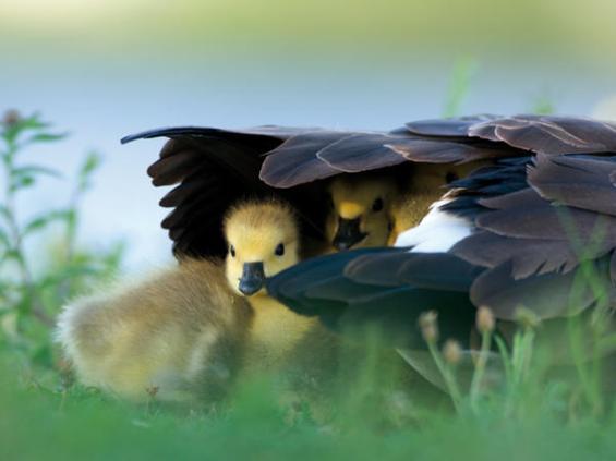 bajo la sombra de tus alas